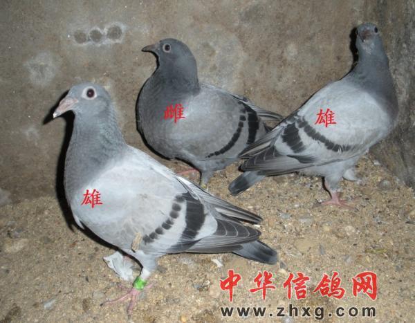 鸽子公母鉴别 技术 图 中华 信鸽 网 新闻资讯图片